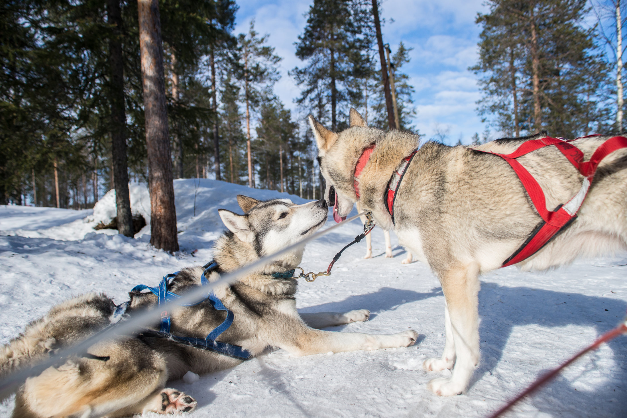 0be331fc46 Visit a Husky farm and 2 h Premium Safari - Lapland Welcome in Finland