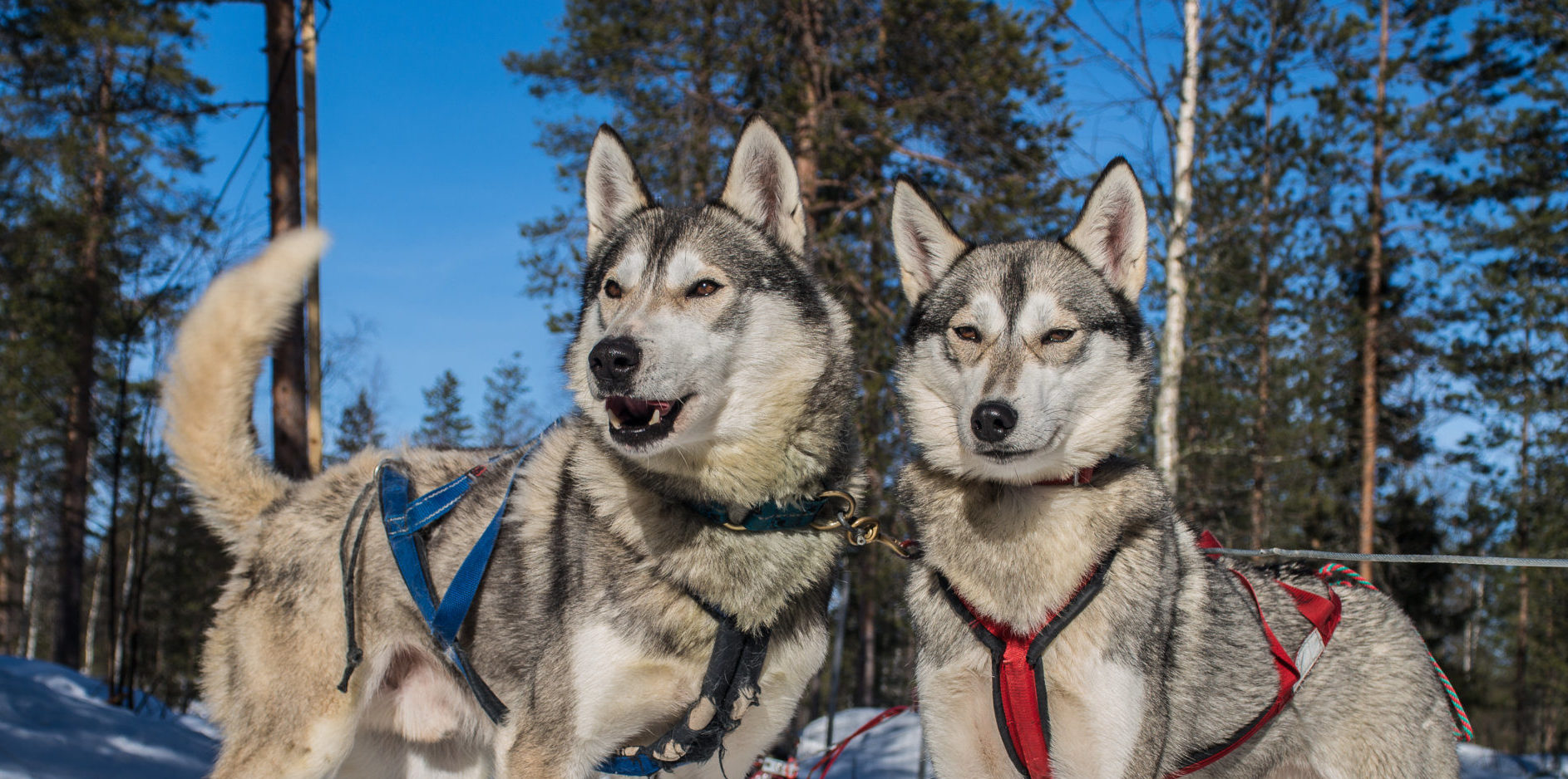 297f6e078d Visit a Reindeer Farm and Husky Farm by Snowmobile Sleigh - Lapland Welcome  in Finland