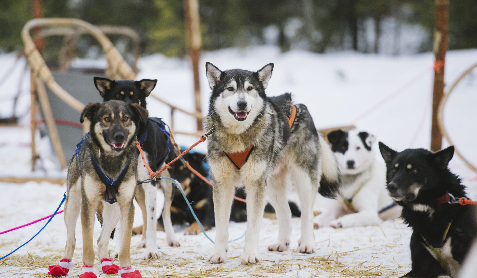 6dbd13dbac Visit a Husky Farm and 2 Hour Husky Safari - Lapland Welcome in Finland