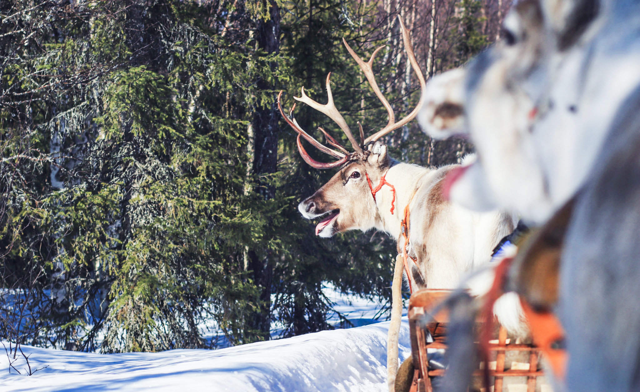 reindeers in forest pulling sleights