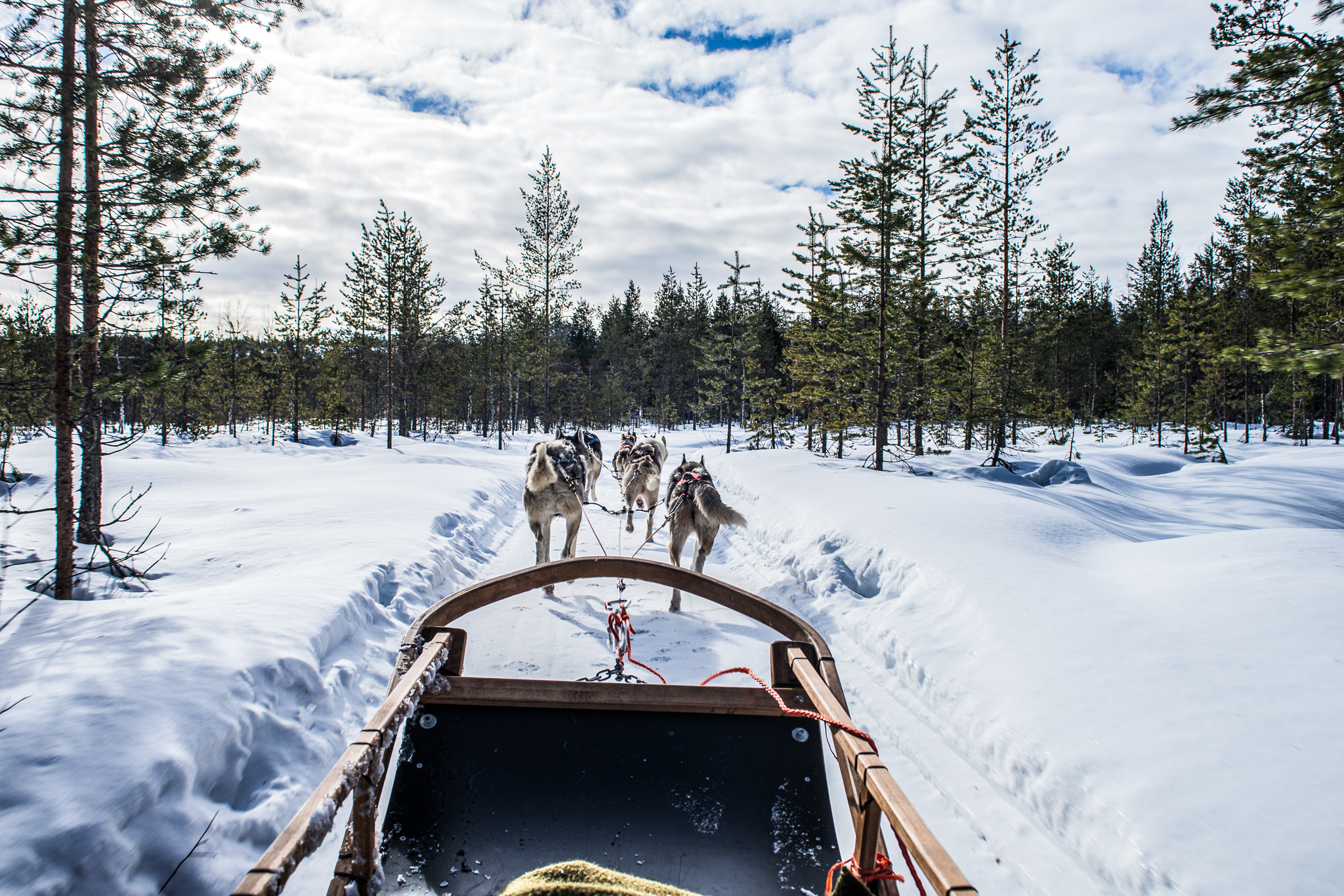 Huskies pulling a sleight in forest