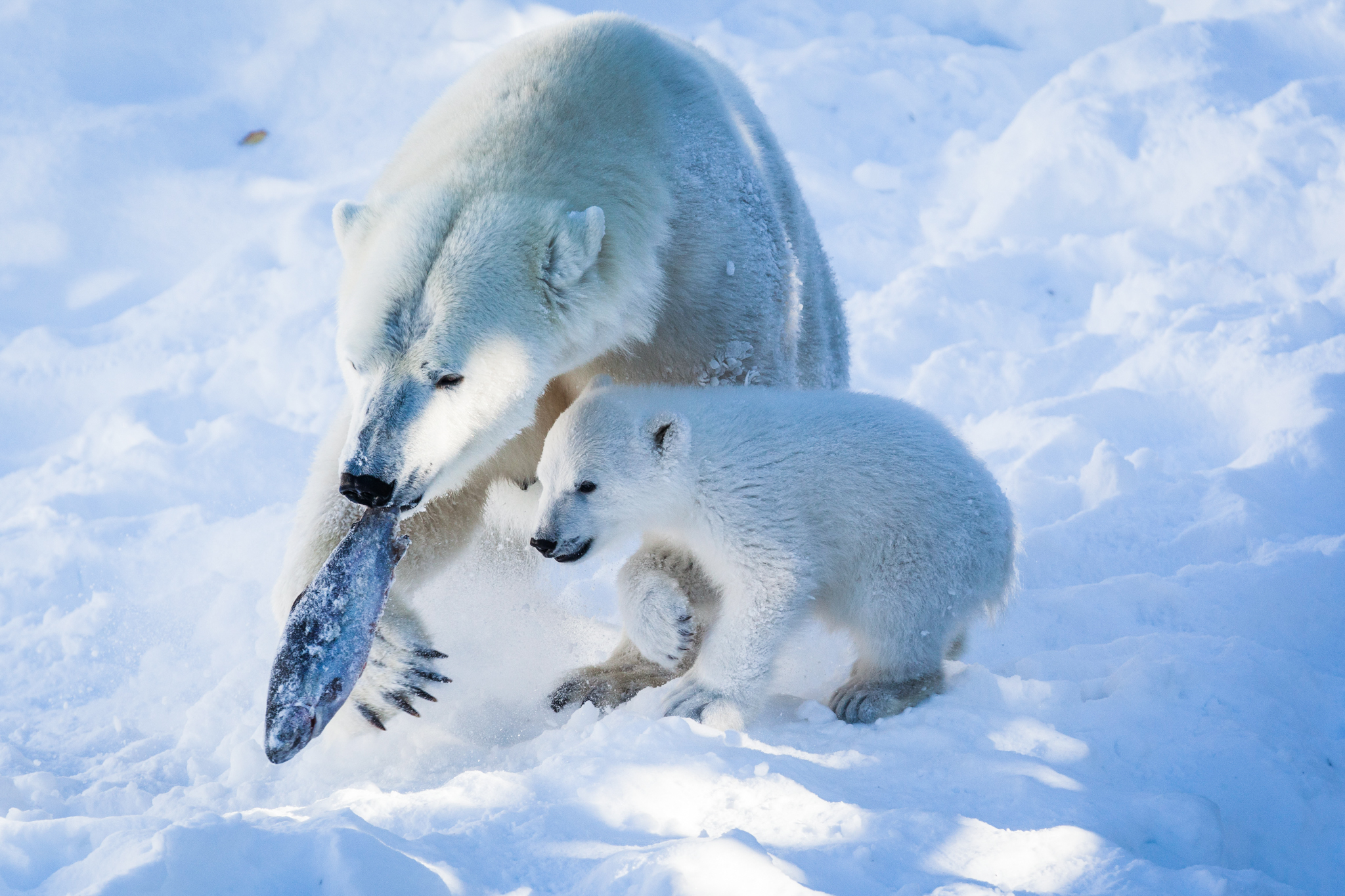 young and adult polar bear eating fish