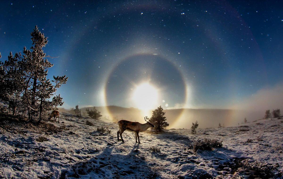 Reindeer in sunset