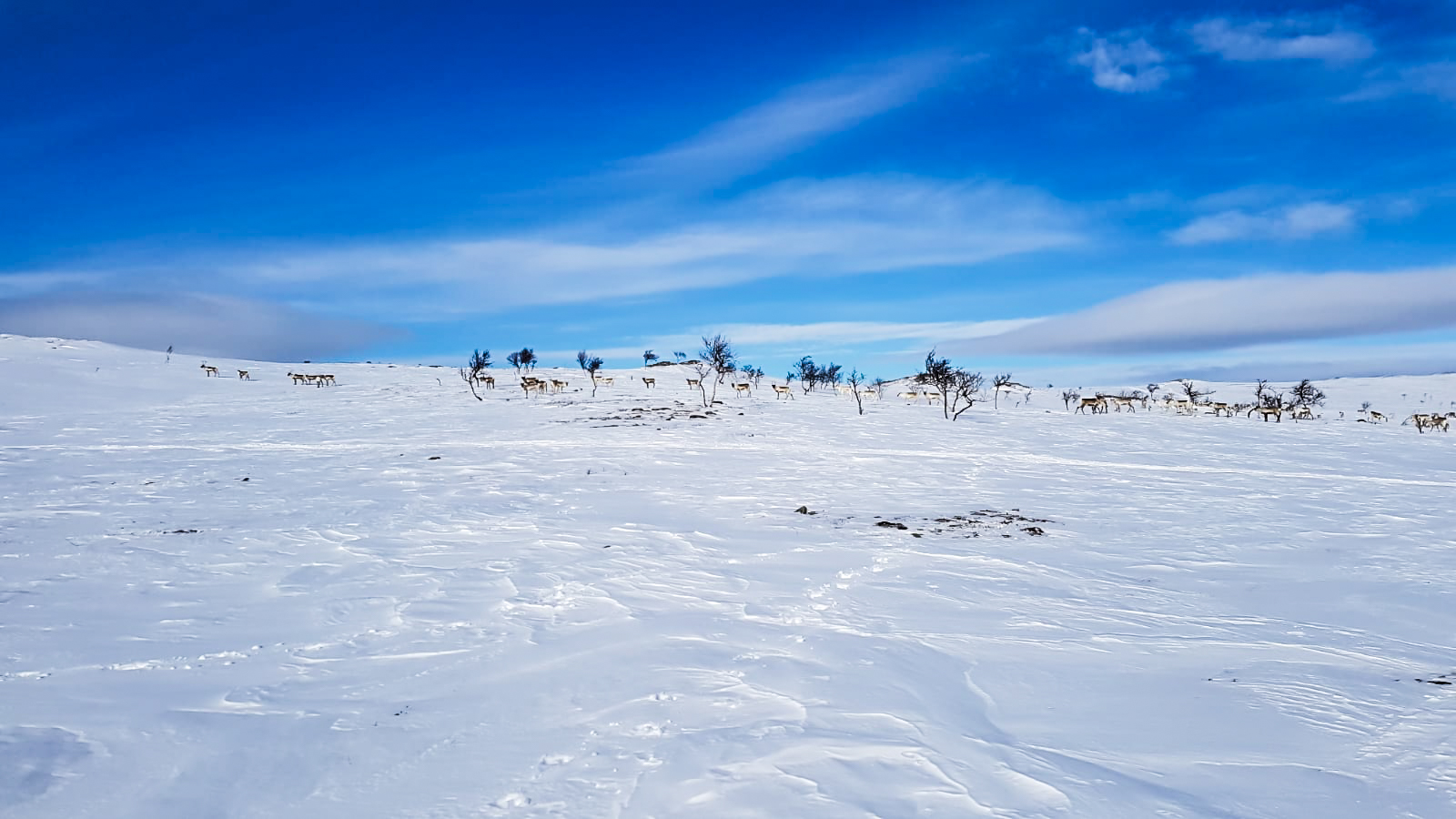 Reindeer herd in snowy landscape