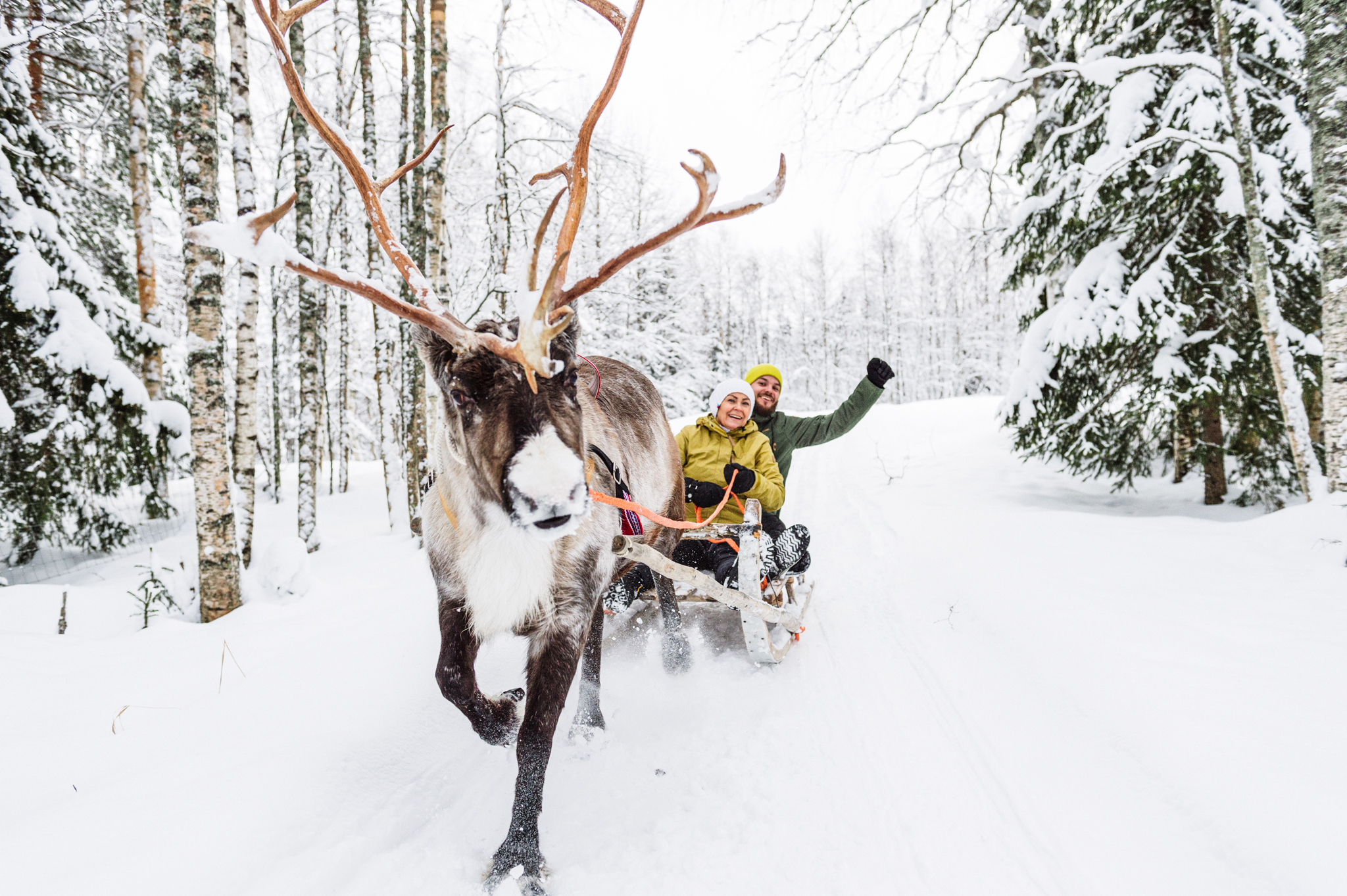 reindeer pulling sleight with people in snowy forest